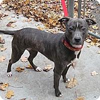 Adopt A Pet :: Josie - Southbury, CT