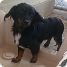 Adopt A Pet :: Dilinger LH tricolor 6mos