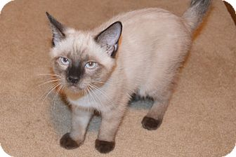 Siamese Kitten for adoption in Lincoln, Nebraska - Ozzy