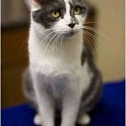 Photo 2 - Domestic Shorthair Cat for adoption in Chicago, Illinois - Athena