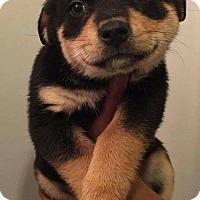 Adopt A Pet :: Siggy (Vikings pup) - Alexandria, VA