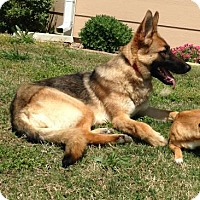 Adopt A Pet :: Elise - Wichita, KS