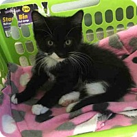 Adopt A Pet :: POUNCE - Canfield, OH