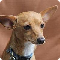 Adopt A Pet :: Chrissy PUPPY - tampa, FL