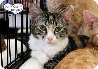 Domestic Shorthair Kitten for adoption in Lee's Summit, Missouri - Elena