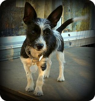 Scottie, Scottish Terrier/Chihuahua Mix Dog for adoption in Imperial Beach, California - Lola