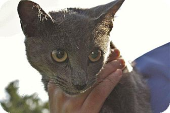 Russian Blue Cat for adoption in Angola, Indiana - Rosie