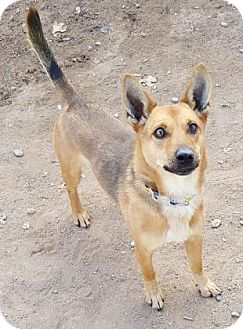 Cardigan Welsh Corgi/Australian Cattle Dog Mix Dog for adoption in Las Cruces, New Mexico - Wylie