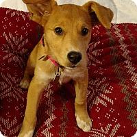 Basenji Mix Puppy for adoption in Marietta, Georgia - Roseanna