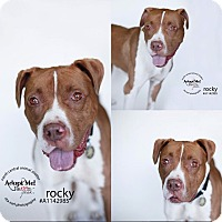 Adopt A Pet :: Rocky the boxer - Los Angeles, CA