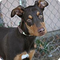 Adopt A Pet :: Baby Bandit - Fillmore, CA