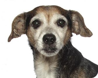 Beagle Dog for adoption in Oakland Park, Florida - Lilly