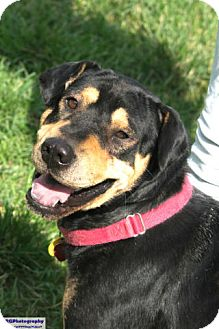 Shar Pei/Rottweiler Mix Dog for adoption in Vancouver, British Columbia - Brutus
