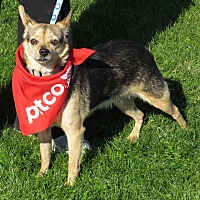 Miniature Pinscher/Chihuahua Mix Dog for adoption in Scottsdale, Arizona - Otis