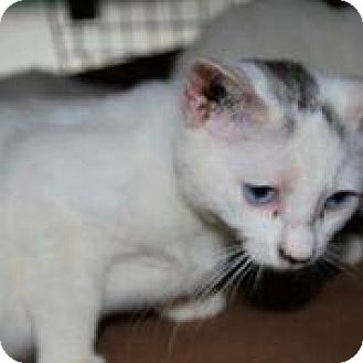Siamese Cat for adoption in Westerly, Rhode Island - Purry White Furries