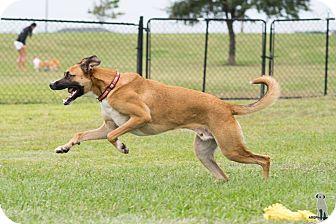 Belgian Malinois/Labrador Retriever Mix Dog for adoption in Seattle, Washington - Apollo, rocket to your heart