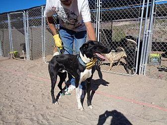 Harrier Mix Dog for adoption in Golden Valley, Arizona - Nitro