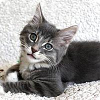 Maine Coon Kitten for adoption in jacksonville, Florida - I'M ELDEN! I'M A FLUFFY SNUGGLER!