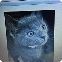 Russian Blue Cat for adoption in Baltimore, Maryland - Miney