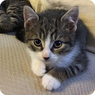 Domestic Shorthair Kitten for adoption in Island Park, New York - Fripp
