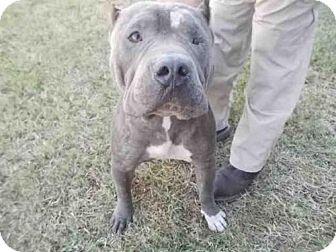 Cane Corso Mix Dog for adoption in Rosenberg, Texas - A009592