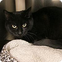 Adopt A Pet :: Obsidian - Toronto, ON