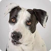 Adopt A Pet :: Domino - Prescott, AZ