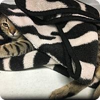 Adopt A Pet :: Splinter - Richboro, PA