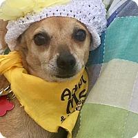 Adopt A Pet :: Chica - Chandler, AZ
