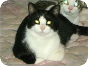 Domestic Shorthair Cat for adoption in Montreal, Quebec - Hanna