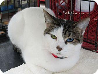Turkish Van Cat for adoption in Rancho Cordova, California - Tabitha