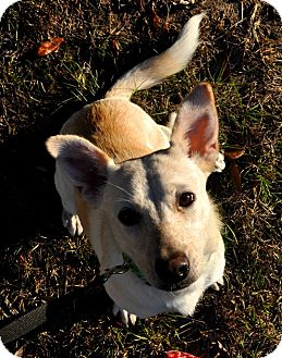 Australian Cattle Dog Mix Dog for adoption in Tallahassee, Florida - Lucy Mae