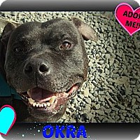 American Staffordshire Terrier Mix Dog for adoption in Middletown, New York - Okra