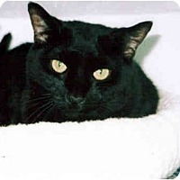 Adopt A Pet :: Midnight - Medway, MA