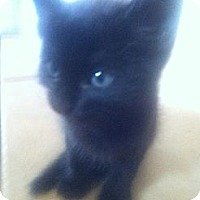 Adopt A Pet :: RAVEN - Phoenix, AZ