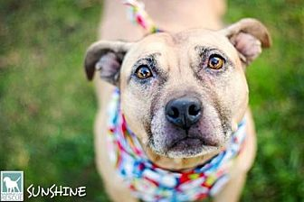 Pit Bull Terrier Mix Dog for adoption in Carlsbad, California - Sunshine