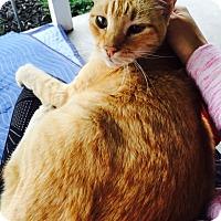 Adopt A Pet :: Mister Sunshine - Novato, CA
