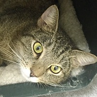 Domestic Shorthair Cat for adoption in Harrison, New York - Zoe