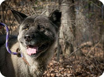 Akita Dog for adoption in Toms River, New Jersey - Serena