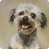 Adopt A Pet :: Louie - Canoga Park, CA