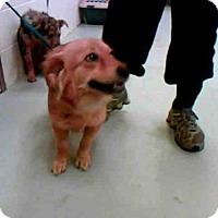 Adopt A Pet :: LAUREN - Conroe, TX