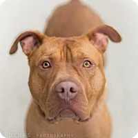 Adopt A Pet :: Red Skelton - Brooklyn, NY