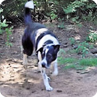 Border Collie Mix Dog for adoption in All Cities, South Carolina - Lily