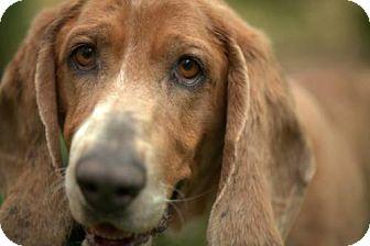 Basset Hound Dog for adoption in Pennsville, New Jersey - CHEVY