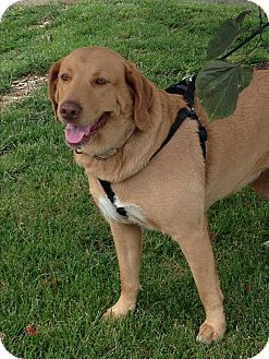 Labrador Retriever Dog for adoption in Radford, Virginia - Carmella