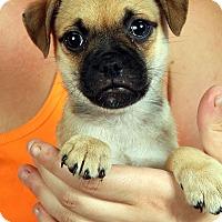 Adopt A Pet :: Paul ToyFoxPug - St. Louis, MO