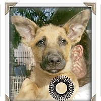 Adopt A Pet :: Sam Shepherd - Los Angeles, CA