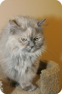 Persian Cat for adoption in Capshaw, Alabama - Jolie