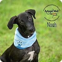Adopt A Pet :: Noah - Pearland, TX