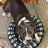 Adopt A Pet :: Champ - Modesto, CA
